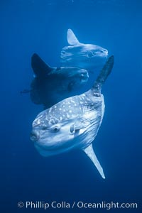 Ocean sunfish schooling near drift kelp, soliciting cleaner fishes, open ocean, Baja California, Mola mola