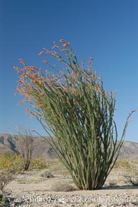 Ocotillo ablaze with springtime flowers. Ocotillo is a dramatic succulent, often confused with cactus, that is common throughout the desert regions of American southwest, Fouquieria splendens, Joshua Tree National Park, California