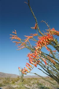 Flower detail on a blooming Ocotillo, springtime, Fouquieria splendens, Joshua Tree National Park, California