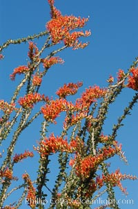Flower detail on a blooming Ocotillo, springtime. Joshua Tree National Park, California, USA, Fouquieria splendens, natural history stock photograph, photo id 09176
