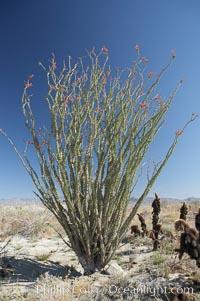 Ocotillo blooms in spring, Fouquieria splendens, Anza-Borrego Desert State Park, Borrego Springs, California