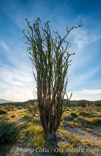 Ocotillo in Anza Borrego Desert State Park, during the 2017 Superbloom, Anza-Borrego Desert State Park, Borrego Springs, California