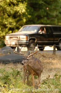 A mule deer grazes beside traffic in Yosemite Valley, Odocoileus hemionus, Yosemite National Park, California