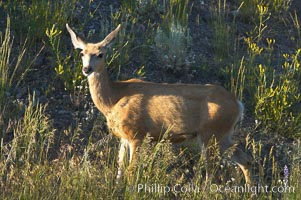 Black-tail deer (mule deer), Odocoileus hemionus, Lamar Valley, Yellowstone National Park, Wyoming