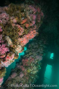 Oil Rig Eureka, Underwater Structure and invertebrate Life, Corynactis californica, Long Beach, California