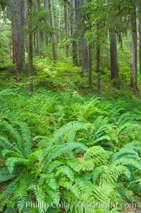 Old growth forest of douglas firs and hemlocks, with forest floor carpeted in ferns and mosses.  Sol Duc Springs.,  Copyright Phillip Colla, image #13757, all rights reserved worldwide.