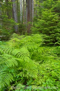 Old growth forest of douglas firs and hemlocks, with forest floor carpeted in ferns and mosses.  Sol Duc Springs, Olympic National Park, Washington