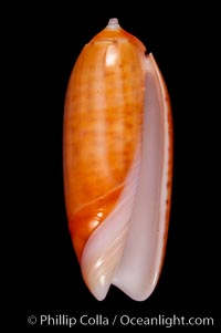 Oliva lignaria cryptospira, Oliva lignaria cryptospira