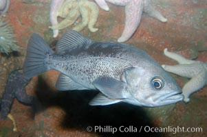 Olive rockfish, Sebastes serranoides