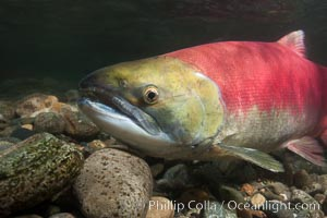 Adams River sockeye salmon.  A female sockeye salmon swims upstream in the Adams River to spawn, having traveled hundreds of miles upstream from the ocean. Adams River, Roderick Haig-Brown Provincial Park, British Columbia, Canada, Oncorhynchus nerka, natural history stock photograph, photo id 26157