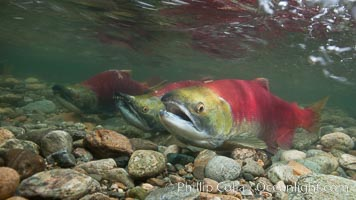 Sockeye salmon, swimming upstream in the shallow waters of the Adams River.  When they reach the place where they hatched from eggs four years earlier, they will spawn and die, Oncorhynchus nerka, Roderick Haig-Brown Provincial Park, British Columbia, Canada
