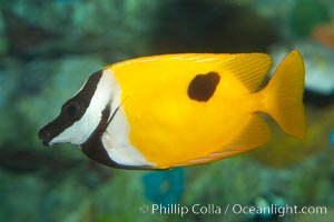 Onespot rabbitfish, Siganus unimaculatus