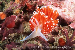 Nudibranch. San Miguel Island, California, USA, Hermissenda crassicornis, natural history stock photograph, photo id 01066
