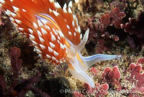 Nudibranch on calcareous coralline algae. Monterey, California, USA, Hermissenda crassicornis, natural history stock photograph, photo id 05285