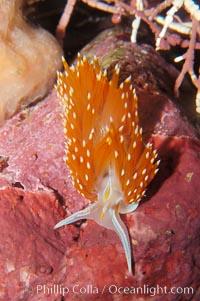 Aeolid nudibranch, Hermissenda crassicornis