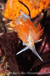 Aeolid nudibranch., Hermissenda crassicornis, natural history stock photograph, photo id 09027