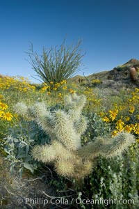 Cholla cactus, brittlebush, ocotillo and various cacti and wildflowers color the sides of Glorietta Canyon.  Heavy winter rains led to a historic springtime bloom in 2005, carpeting the entire desert in vegetation and color for months, Opuntia, Encelia farinosa, Fouquieria splendens, Anza-Borrego Desert State Park, Anza Borrego, California