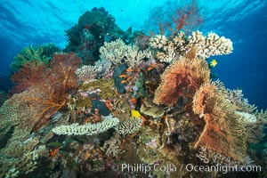 Orange and Yellow Gorgonians with Various Hard Corals, Fiji, Gorgonacea, Vatu I Ra Passage, Bligh Waters, Viti Levu  Island