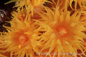 Orange cup coral. Isla Champion, Galapagos Islands, Ecuador, Tubastrea coccinea, natural history stock photograph, photo id 01863