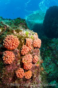 Orange cup coral clusters on rocky reef, Tubastrea coccinea, Sea of Cortez