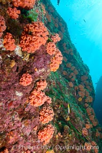 Orange cup coral, retracted during daylight, Sea of Cortez, Isla Las Animas, Baja California, Mexico
