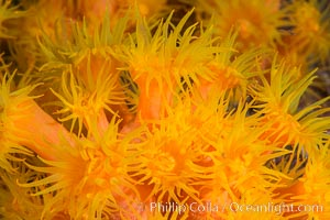 Orange Cup Coral, Tubastrea coccinea, Sea of Cortez, Mexico, Isla Cayo, Baja California