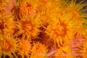 Orange Cup Coral, Tubastrea coccinea, Sea of Cortez, Mexico, Isla Espiritu Santo, Baja California