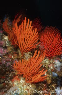 Orange gorgonian, Lunker Rock, Adelogorgia phyllosclera, San Benito Islands (Islas San Benito)