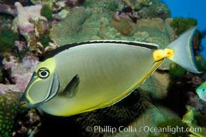 Orangespine unicornfish, Naso lituratus