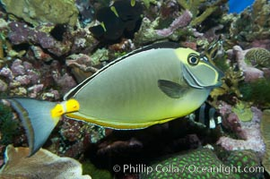 Orangespine unicornfish, Naso lituratus