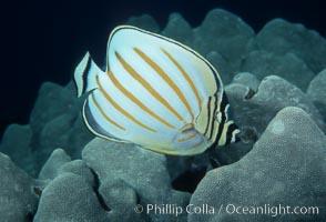 Ornate butterflyfish, Chaetodon ornatissimus, Maui