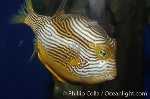 Ornate cowfish, male coloration, Aracana ornata