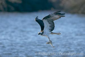 Osprey catches a small fish from a lagoon, Pandion haliaetus, Bolsa Chica State Ecological Reserve, Huntington Beach, California
