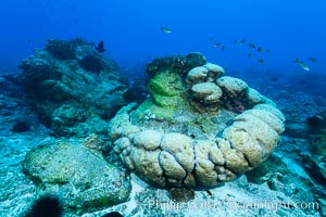 Enormous Porites lobata coral head, overturned by storm surge, Clipperton Island. Clipperton Island, France, Porites lobata, natural history stock photograph, photo id 33012