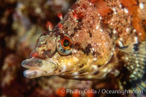 Painted greenling, Oxylebius pictus, Monterey, California