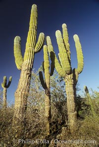 Cardon cactus, near La Paz, Baja California, Mexico.  Known as the elephant cactus or Mexican giant cactus, cardon is largest cactus in the world and is endemic to the deserts of the Baja California peninsula.  Some specimens of cardon have been measured over 21m (70) high.  These slow-growing plants live up to 300 years and can weigh 25 tons.  Cardon is often mistaken for the superficially similar saguaro of Arizona and Sonora, but the saguaro does not occupy Baja California, Pachycereus pringlei