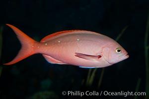 Pacific creolefish, Paranthias colonus