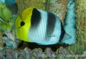 Pacific double-saddle butterflyfish., Chaetodon ulietensis, natural history stock photograph, photo id 11817