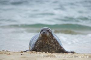 Pacific harbor seal, Phoca vitulina richardsi, La Jolla, California