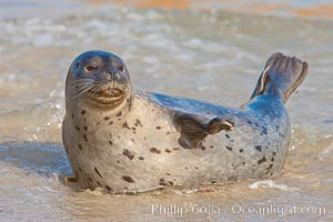 Pacific harbor seal, an sand at the edge of the sea. La Jolla, California, USA, Phoca vitulina richardsi, natural history stock photograph, photo id 26320
