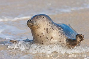 Pacific harbor seal, an sand at the edge of the sea. La Jolla, California, USA, Phoca vitulina richardsi, natural history stock photograph, photo id 26321