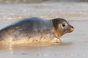 Pacific harbor seal, an sand at the edge of the sea, Phoca vitulina richardsi, La Jolla, California