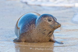 Pacific harbor seal, an sand at the edge of the sea, Phoca vitulina richardsi, La Jolla, California