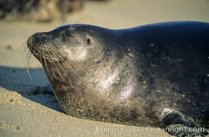 This Pacific harbor seal has an ear with no external ear flaps, marking it as a true seal and not a sea lion.  La Jolla, California.  This group of harbor seals, which has formed a breeding colony at a small but popular beach near San Diego, is at the center of considerable controversy.  While harbor seals are protected from harassment by the Marine Mammal Protection Act and other legislation, local interests would like to see the seals leave so that people can resume using the beach, Phoca vitulina richardsi