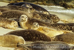 Pacific harbor seals rest while hauled out on a sandy beach.  This group of harbor seals, which has formed a breeding colony at a small but popular beach near San Diego, is at the center of considerable controversy.  While harbor seals are protected from harassment by the Marine Mammal Protection Act and other legislation, local interests would like to see the seals leave so that people can resume using the beach, Phoca vitulina richardsi, La Jolla, California