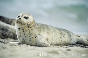 A Pacific harbor seal pup hauls out on a sandy beach.  This group of harbor seals, which has formed a breeding colony at a small but popular beach near San Diego, is at the center of considerable controversy.  While harbor seals are protected from harassment by the Marine Mammal Protection Act and other legislation, local interests would like to see the seals leave so that people can resume using the beach, Phoca vitulina richardsi, La Jolla, California