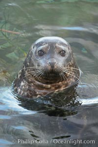 A Pacific harbor seal eyes the photographer while swimming in the shallows.  This group of harbor seals, which has formed a breeding colony at a small but popular beach near San Diego, is at the center of considerable controversy.  While harbor seals are protected from harassment by the Marine Mammal Protection Act and other legislation, local interests would like to see the seals leave so that people can resume using the beach., Phoca vitulina richardsi,  Copyright Phillip Colla, image #15546, all rights reserved worldwide.