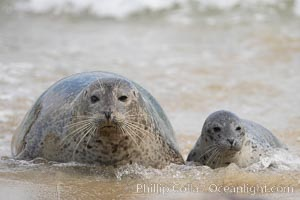 Pacific harbor seal, mother and pup., Phoca vitulina richardsi,  Copyright Phillip Colla, image #15752, all rights reserved worldwide.
