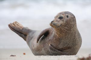 Pacific harbor seal. La Jolla, California, USA, Phoca vitulina richardsi, natural history stock photograph, photo id 15765