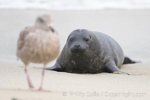Pacific harbor seal pup watches a seagull, Phoca vitulina richardsi, La Jolla, California